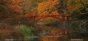 Massachusetts Fall Foliage and Great Blue Heron at South Natick Sargent Footbridge