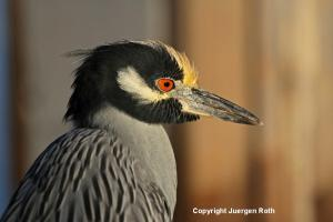 How to Photograph Black Crowned Night Heron