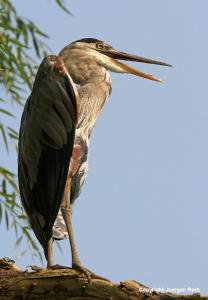 Bird Photography Study of a Great Blue Heron