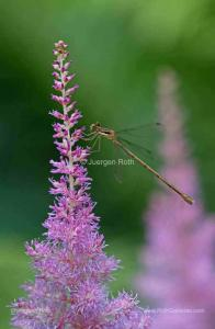 Behind the Macro Photography Image of a Slender Spreadwing Damselfly