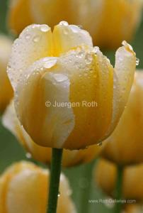 Behind the Photograph of Tulips Flower Photography