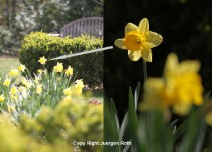 Daffodil Flower Photography at Halls Pond