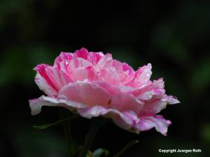 Minot Rose Garden Photography