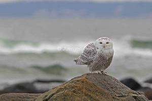Behind the Bird Photography Image of Snowy Owl on Plum Island