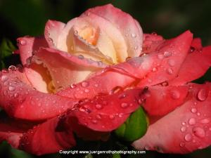 Diamond Rose Flower Photography