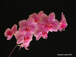 Lighting and Making of Spring Orchids
