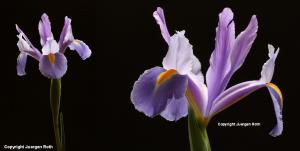 Flower Fine Art Photography over Black
