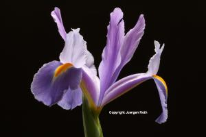 Purple Iris Flower Fine Art Photography Artwork