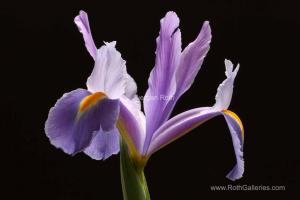 Creating Flower Fine Art Photography Through Backlighting