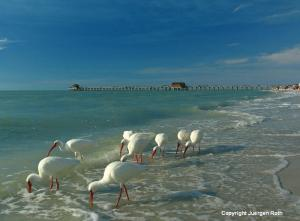 White Ibis Near Historic Naples Pier - Photographer Forum Magazine Spring Photography Contest Finalist